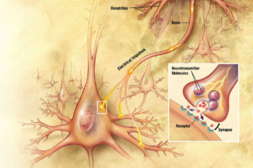 SciNews: `Study Identifies First Brain Cells that Respond to Sound`