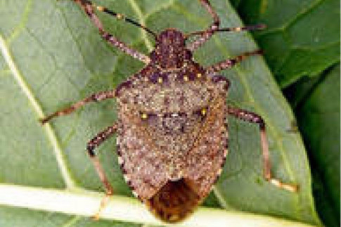 Entomologists Helping Scientists, Farmers, and Citizens from Abkhazia Understand the Biology, Threats, and Management of Brown Marmorated Stink Bug, Halyomorpha Halys