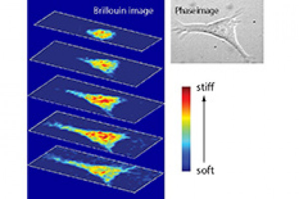 UMD Researchers Shed Light on Mechanical Properties of Cells