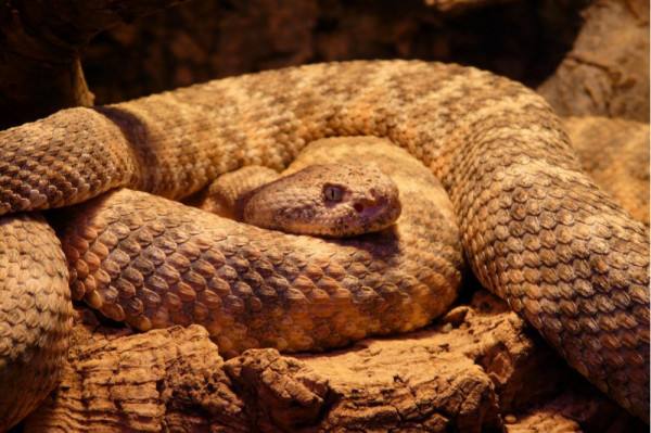 Phys.org: `Study warns that snake fungal disease could be a global threat`